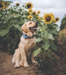 golden retriever, weekend and nature