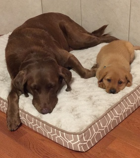 sisters, puppy and chocolate lab