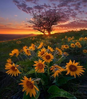 sunflowers, summer and sunset