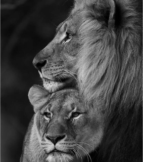 photography, animals and lions