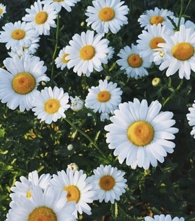 daisies, white and flowers