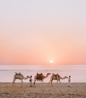 sunrise, desert and camel