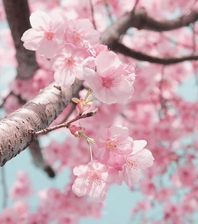 spring, seasons and cherry blossoms
