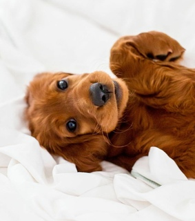 puppies, dogs and irishsetter