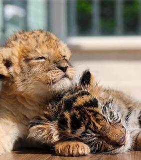 cutie, young baby cubs and innocent paws