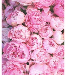 pink peonies, pretty and beautiful