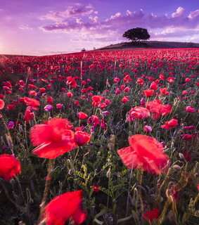 poppies, flowers and nature