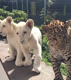 leopard, lion and cute