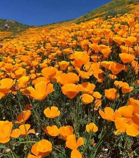 spring, orange and poppies