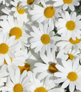 daisies, flowers and summer