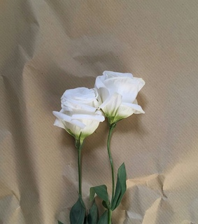 white roses, beauty and love