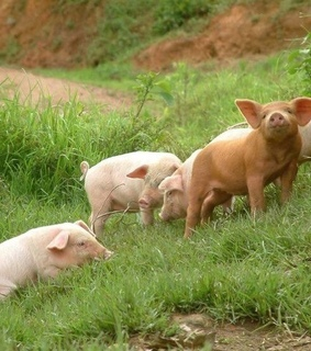 farmcore, land and pigs