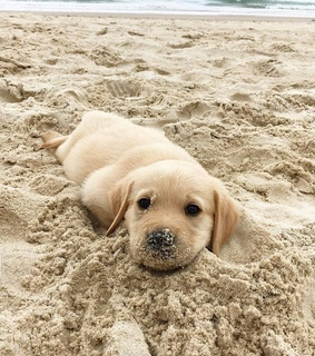 sea, golden retriever and adorable
