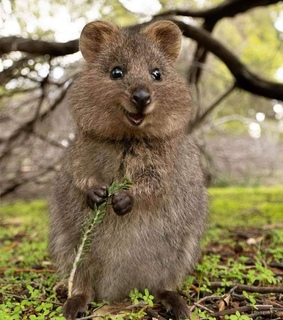 quokka, lindo and Animales