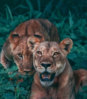 lovely, lion and cute