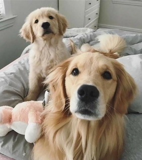 cute, golden retriever and inspiration