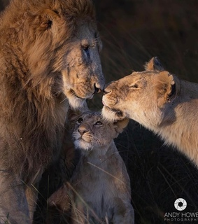 lions, love and puppies