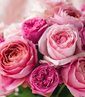 rose, colors and pink roses