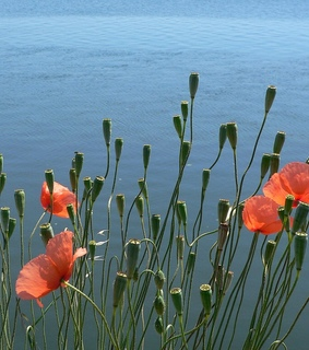 lake, summer and poppies