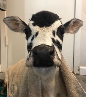 cows, animals and baby