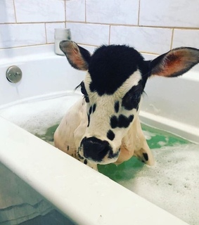cow, animals and cute