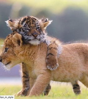 animals, tiger and lion