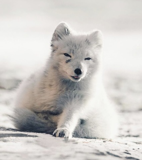 fox, snow and cute