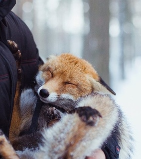 cute, snowey and fox