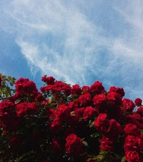 red roses, flowers and blue sky