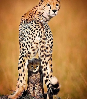 leopards, wildlife and leopard