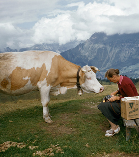 cow, mountains and nature