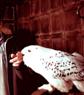 harry potter, hedwig and owl