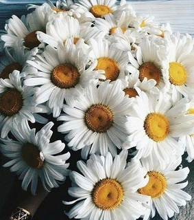 daisies, flower and bouquet