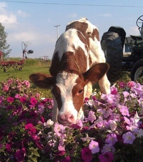 summer, cute and cow