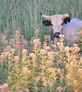 flowers, cow and farm