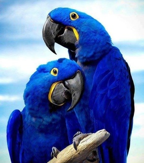 love, blue and parrots