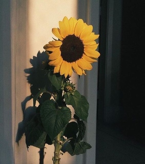 yellow, sunflowers and flowers