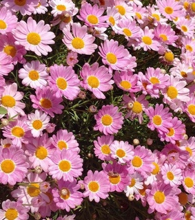 cute, daisies and like