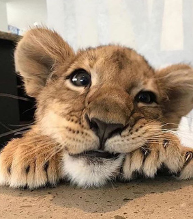 lion, animals and cute