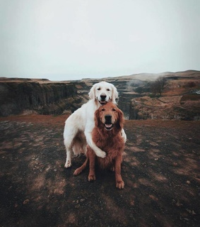 friends, dogs and golden