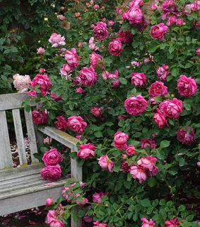 rose garden, colors and beautiful
