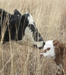 cows, cute and adventure
