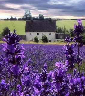 lavender field, garden and nature