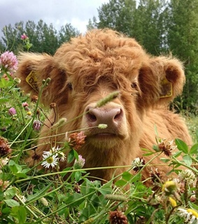 brown, flowers and cow