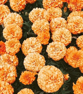 flower field, carnations and vintage