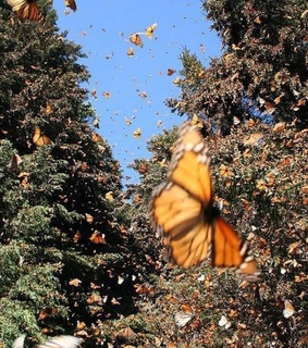 monarch butterfly, Flying and forest