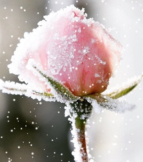 snow, pink and rose
