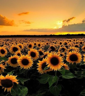 clouds, yellow and sunflower
