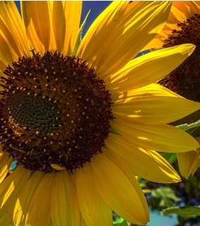 yellow, flowers and sunflowers