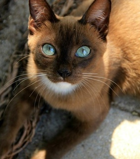 blue eyes, cat and pet